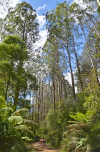 Forest near Little Red Toolangi Treehouse