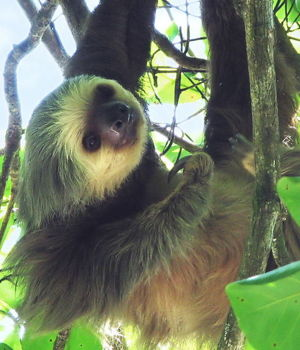 Two toed sloth in Costa Rica