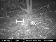 Potoroo in Brown Mountain forest